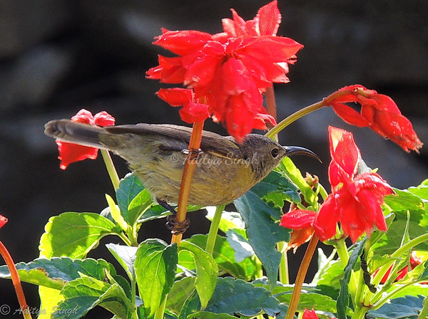 Crimson Sunbird female