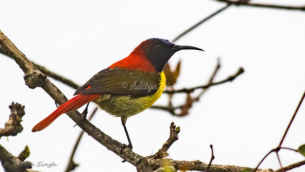 Fire-tailed Sunbird