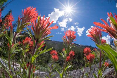 Indian Paintbrush Group with sun