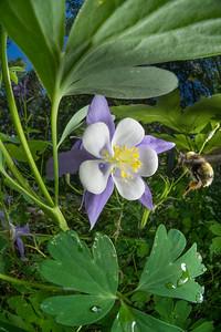 Rocky Mountain Columbine (bee)