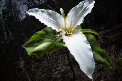 Crab Spider on Western Trillium