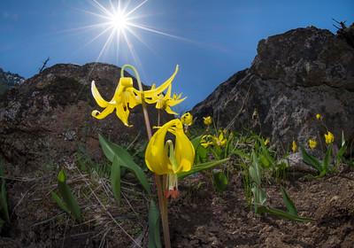 Glacier Lilies (group)