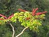 Shefalera in bloom, an invasive species.