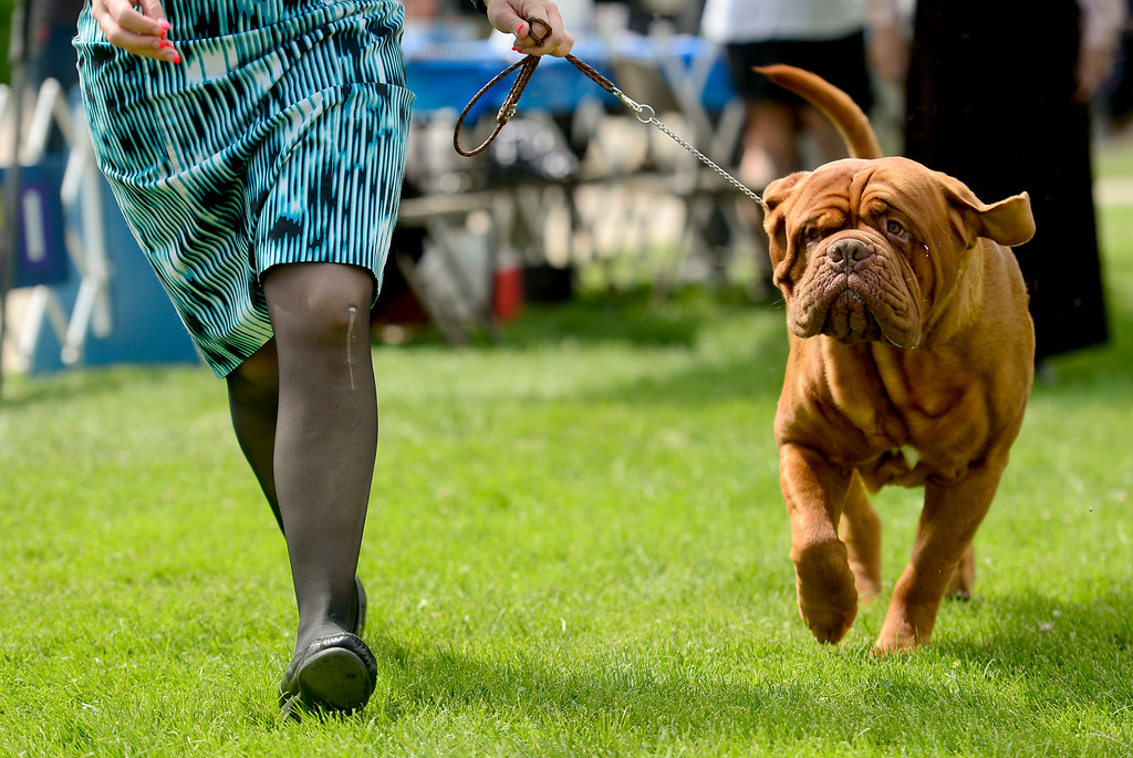 . Groot, a Dogue de Bordeaux, is shown by Holly Leftwich, of Lubbock, Texas, at the Flatirons Kennel Club show at the Boulder County Fairgrounds in Longmont, Colorado on June 3, 2018. (Photo by Matthew Jonas/Staff Photographer)