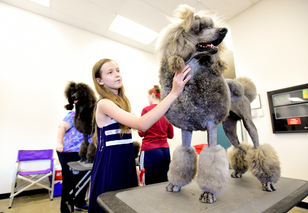 . Erin Larson, of Brighton, pets Kingpin, a standard poodle, before showing at the Flatirons Kennel Club show at the Boulder County Fairgrounds in Longmont, Colorado on June 3, 2018. (Photo by Matthew Jonas/Staff Photographer)