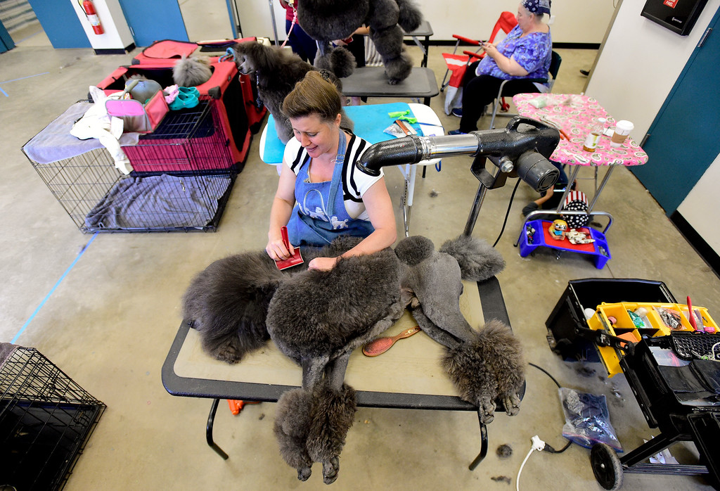. Kathy Adams, of Brighton, grooms Colorado Chrome, a standard poodle, before showing at the Flatirons Kennel Club show at the Boulder County Fairgrounds in Longmont, Colorado on June 3, 2018. (Photo by Matthew Jonas/Staff Photographer)