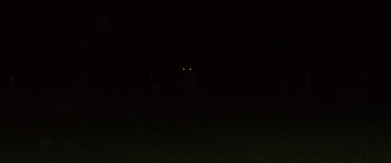 elk eyes