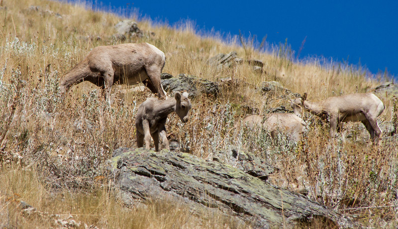 Bighorn Sheep ewes and lambs
