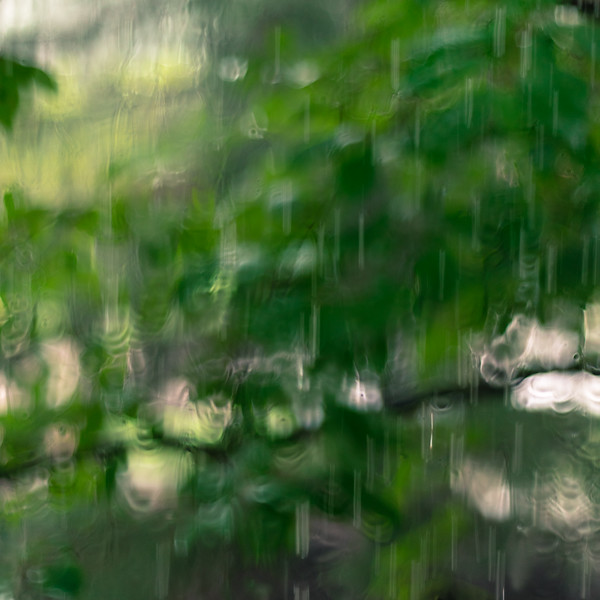Tulip Tree in the Rain