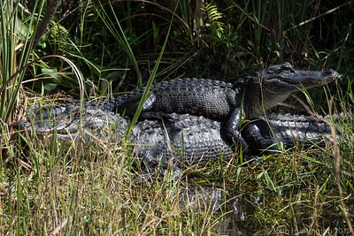 A juvenile alligator sits on top of its mother in the Everglades.