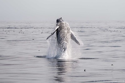 A humpback whale breaches in the Atlantic Ocean off Cape Cod