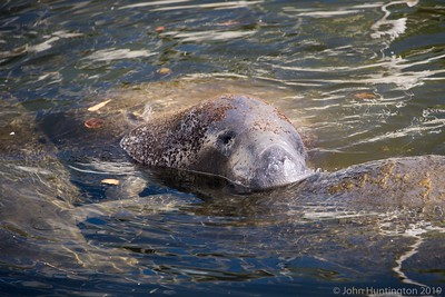 Manatees in a canal in the Little Haiti section of Miami.