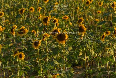 Sunflower Field (June 30, 2016)
