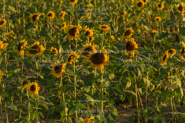 Sunflower Field (June 30, 2016)
