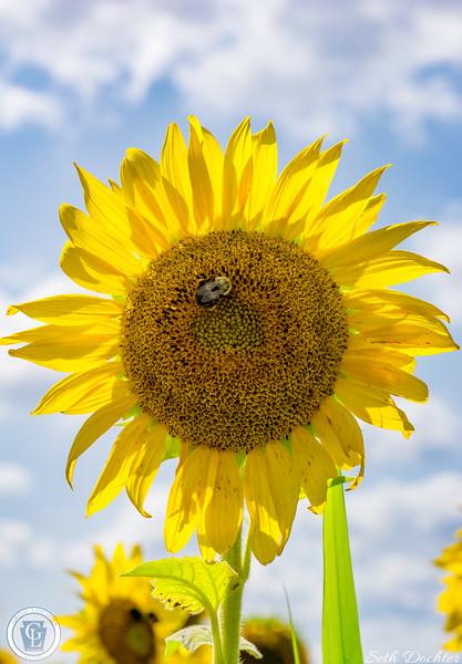 1318 - Sunflowers - Elverson Sunflower and Sky