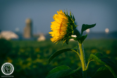 1334 - Sunflowers - Lone Sunflower Countryside Silo