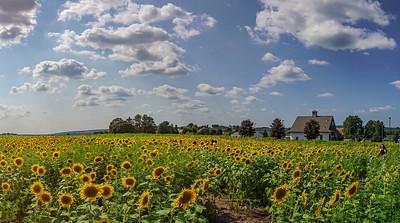 1328 - Sunflowers - Elverson Patch Panorama