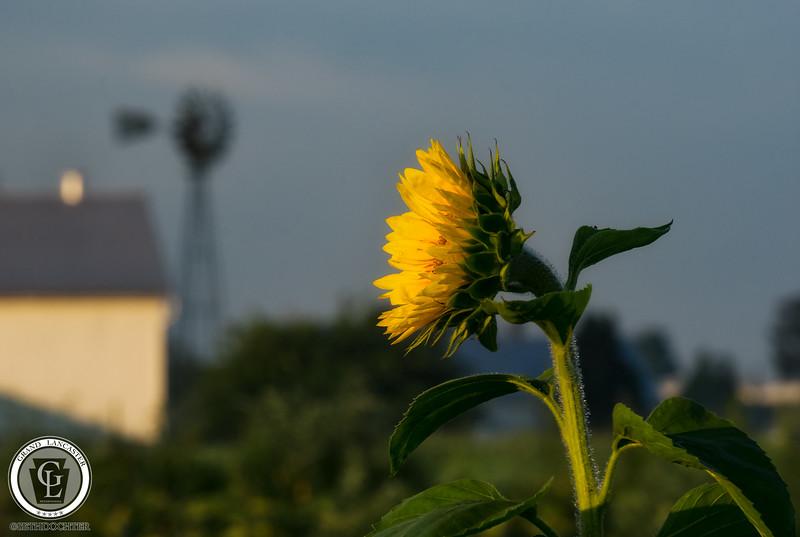 1329 - Sunflowers - Sunrise Flower Windmill Amsterdam Road
