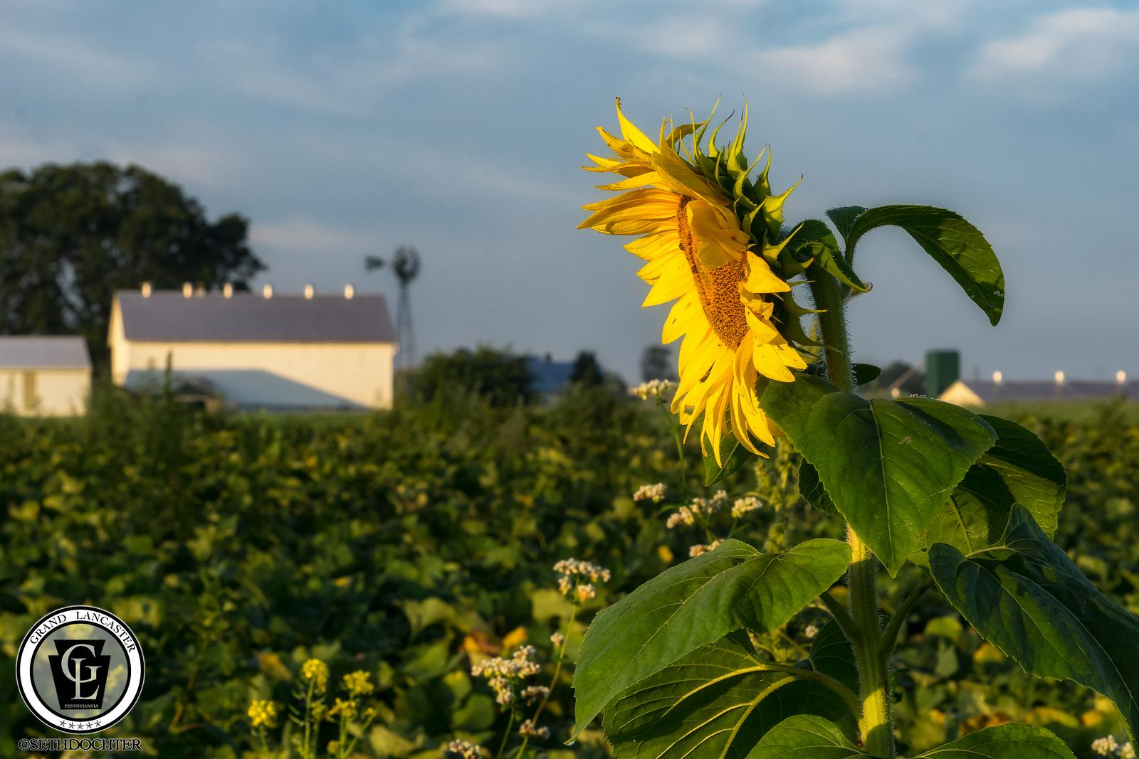 1330 - Sunflowers - Sunrise Flower Farm Amsterdam Road