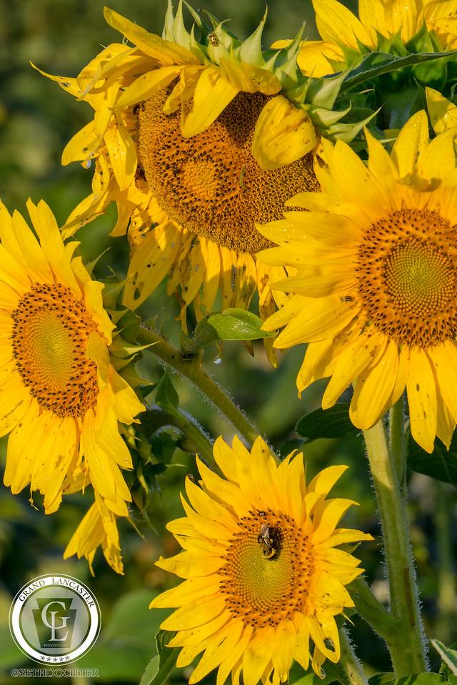 1322 - Sunflowers - Sunflower Cluster Amsterdam Road
