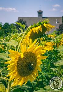 1335 - Sunflowers -field at Elverson carwash