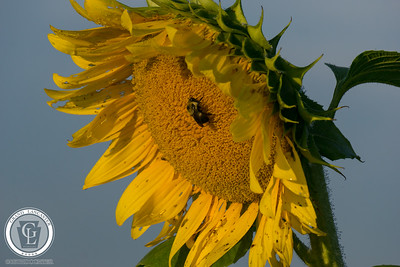 1321 - Sunflowers - Big Flower Big Bee Amsterdam Road