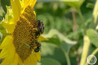1320 - sunflower - three bees side macro