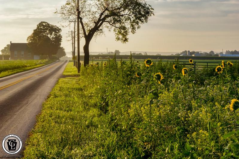 1323 - Sunflowers - Roadside Flowers Amsterdam Road