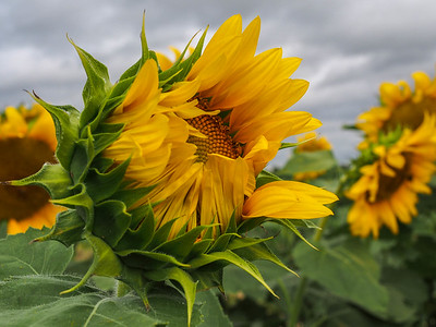 Sunflowers and Street Art August 2016
