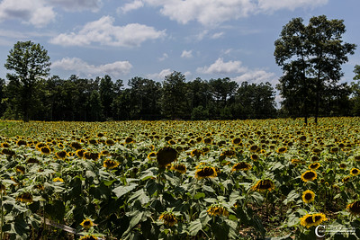 Sunflowers in North Alabama