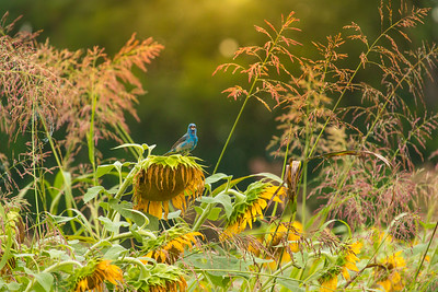 7367Sunflowers Knoxville Great Smoky Mountains Summer TWRA Birding_
