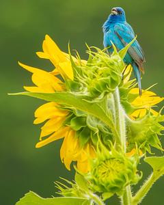 Indigo Bunting and Sunflowers