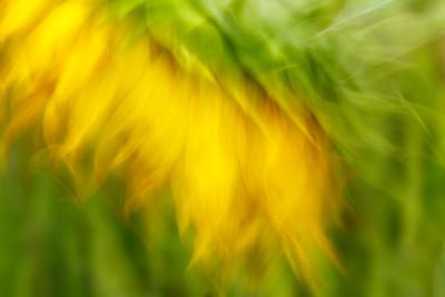 Sunflower #6
