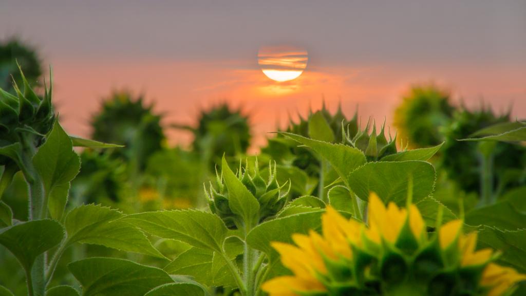 _MG_5627 Sunflowers Sunrise Knoxville TWRA
