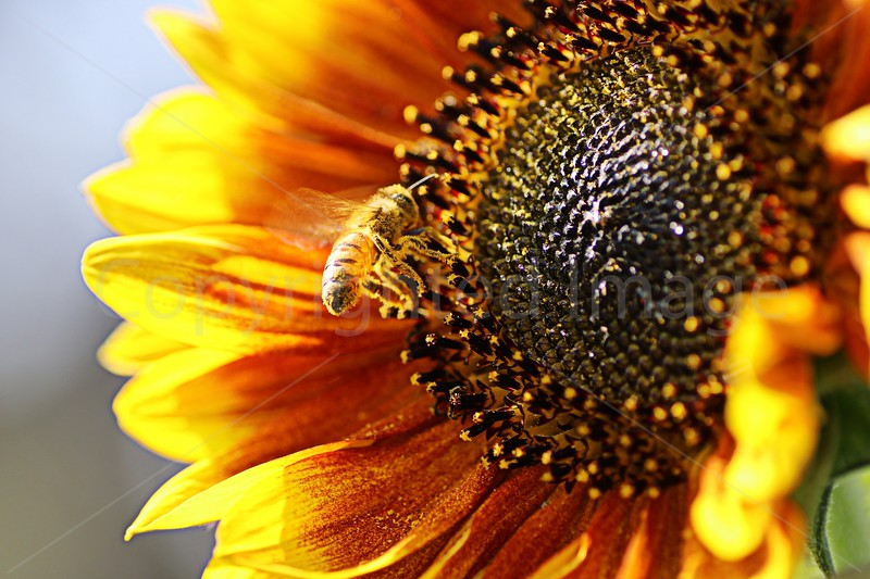 Nectar Flurry