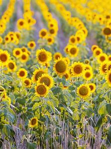 Sunflowers blurred background