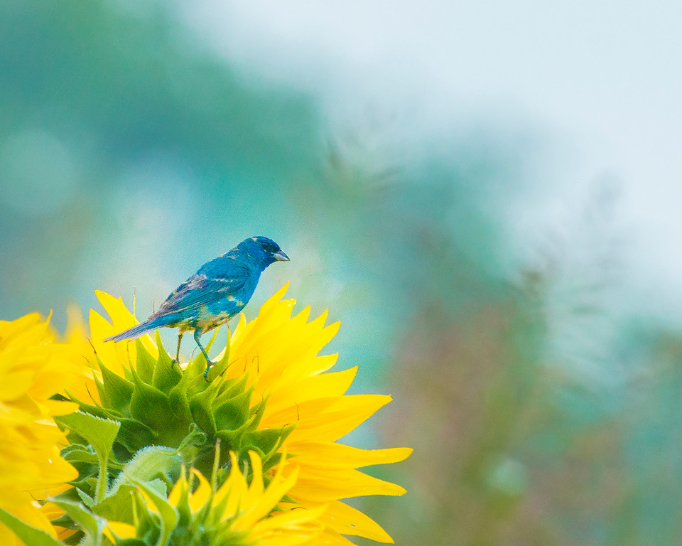 Indigo Bunting and Sunflowers