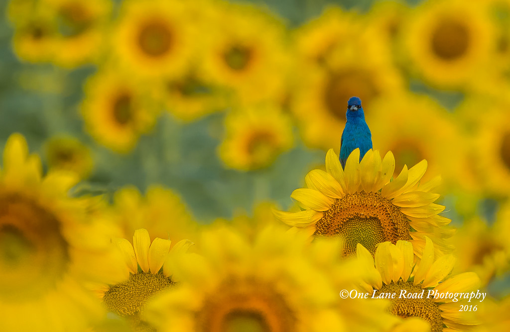 Indigo-in-Sunflowers-facing-me  -7-2016-watermarked-for-WEB