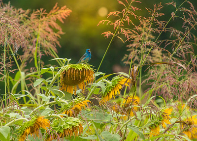 7372Sunflowers Knoxville Great Smoky Mountains Summer TWRA Birding_
