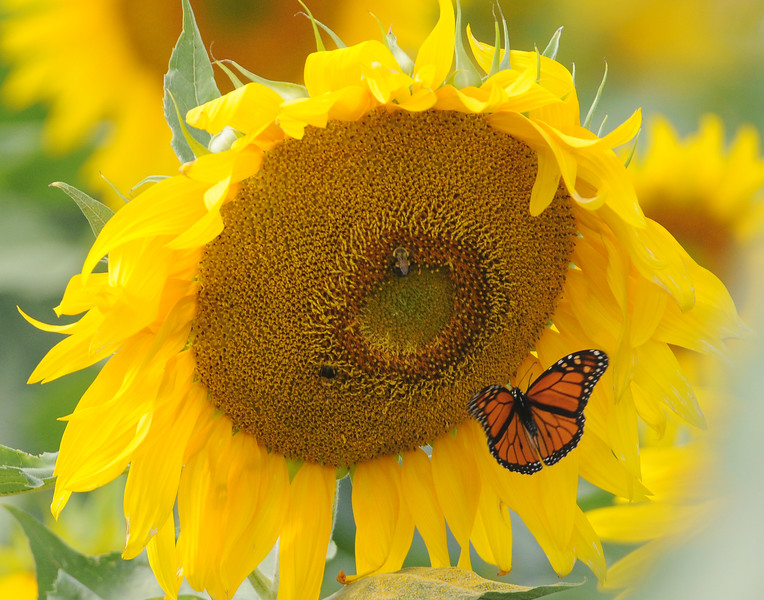 Jack Haley/Messenger Post Media<br /> A Monarch butterfly joins a bee on a sunflower in a field along Route 332 that is owned and planted by American Equipment on Collette Road.