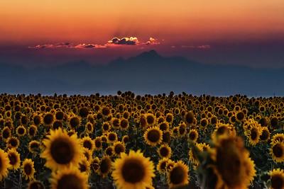 Longs peak sunflower field