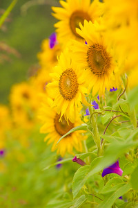Sunflowers and Morning Glories