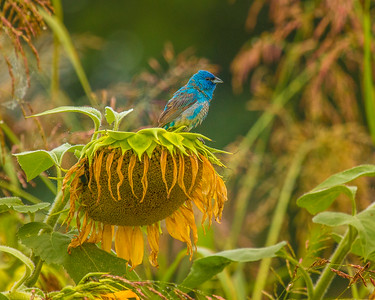 7393Sunflowers Knoxville Great Smoky Mountains Summer TWRA Birding_
