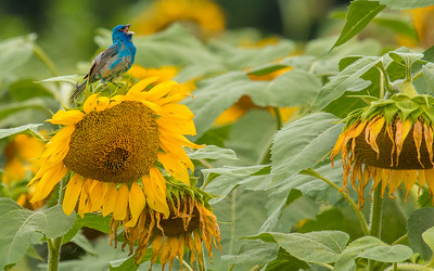 7495Sunflowers Knoxville Great Smoky Mountains Summer TWRA Birding_