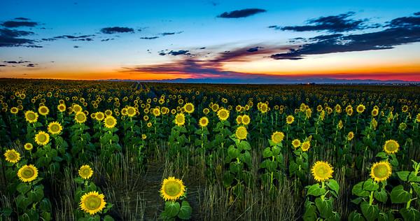 Sun flower dusk