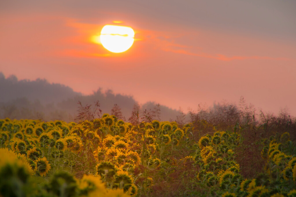 Sunrise and Sunflowers