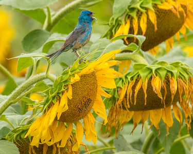 7473Sunflowers Knoxville Great Smoky Mountains Summer TWRA Birding_