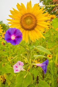 7318Sunflowers Knoxville Great Smoky Mountains Summer TWRA Birding_