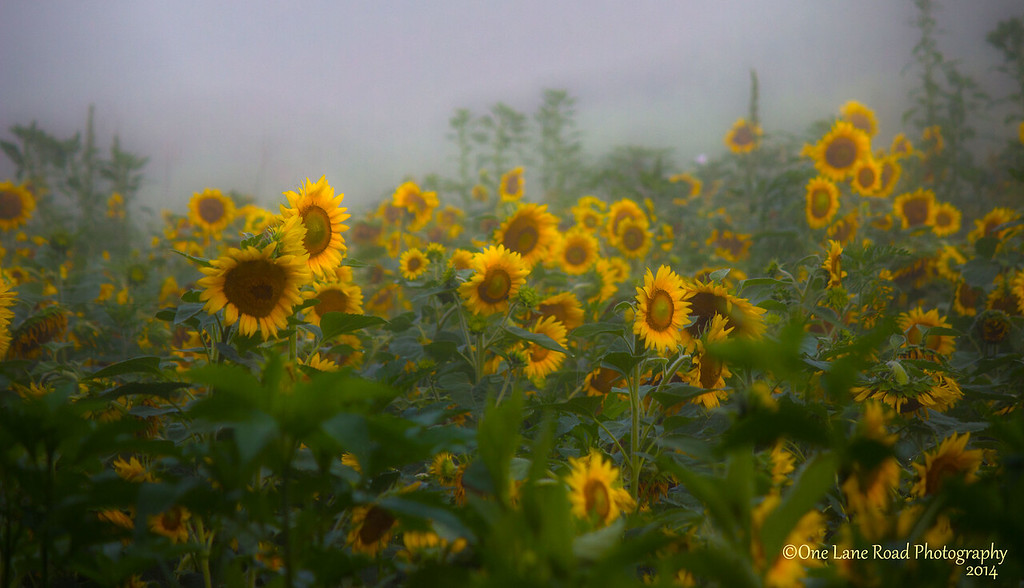 sunflower-field-1---watermarked-for-WEB
