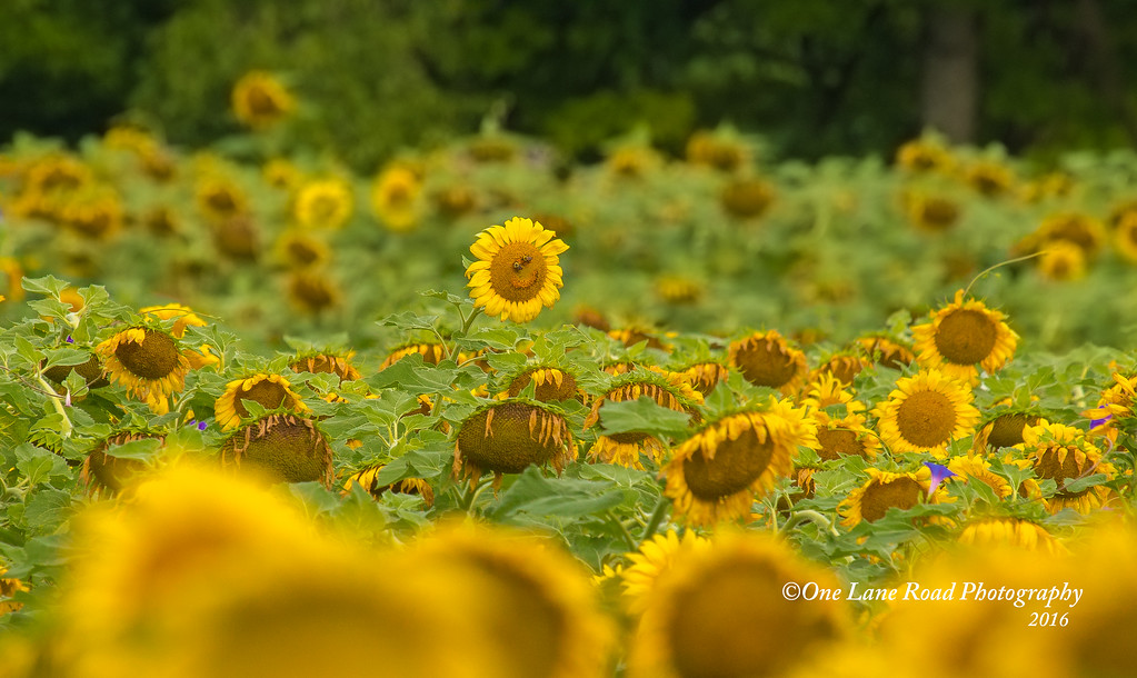 Smiling-Sunflower-7-10-2016-watermarked-for-WEB